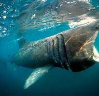 Гигантская акула является