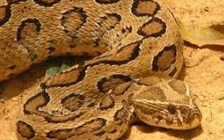 Самые опасные змеи фото