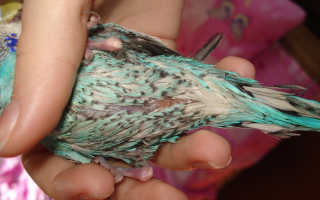 Пероед у волнистых попугаев