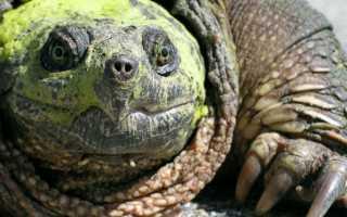 Видео каймановая черепаха