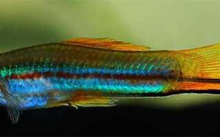 Какие рыбки живут с меченосцами