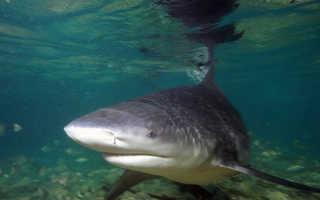 Фото тупорылая акула