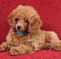 Карликовый пудель размеры взрослой собаки