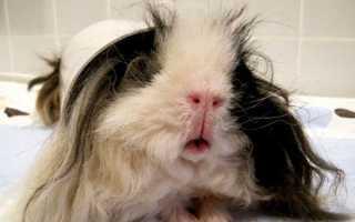 У морской свинки насморк как лечить