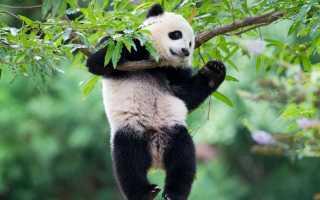 Панда относится к енотам