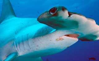 Фото акулы молот