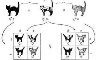 Какие породы кошек черного окраса