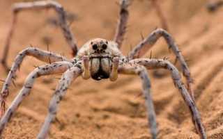 Очень большие пауки