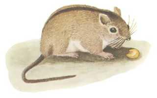 Тип полевой мыши