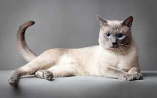 Ред поинт кошки фото