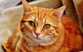 Породы кошек рыже белого окраса