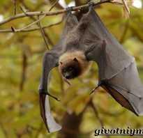 Летучая мышь хищник или нет