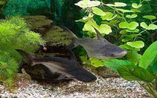 Пангасиус акулий сом фото