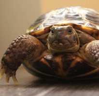 Фото черепахи сухопутной