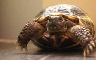 Сухопутная черепаха википедия