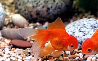 Черные пятна на плавниках золотой рыбки
