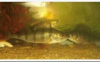 Речные рыбки в аквариуме