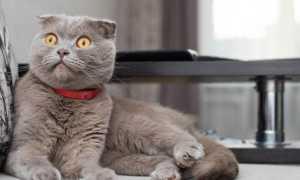 Самые дорогие окрасы шотландских кошек