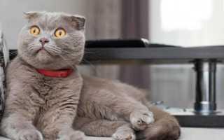 Окрас фавн шотландских кошек