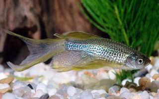 Данио совместимость с другими рыбами таблица