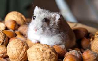 Какие орехи можно хомякам
