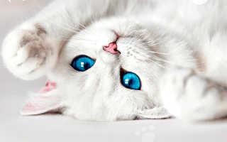 Порода кошек белый окрас голубые глаза